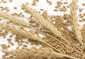 我国今年继续在小麦主产区实行小麦最低收购价政策