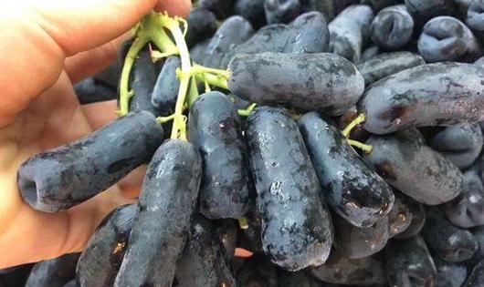 蓝宝石葡萄要怎么扦插?蓝宝石葡萄的扦插技术