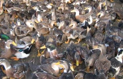年出栏可出栏80万只咸水鸭,他致富不忘扶贫
