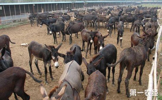 驴的养殖方式有几种?驴的养殖方式介绍