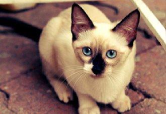 暹罗猫一只多少钱?