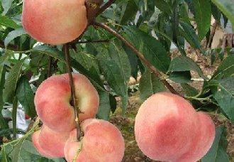 桃树早衰的原因以及预防措施
