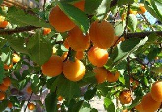 杏树不结果的原因以及解决办法