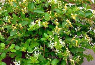 金银花种植要注意什么?种植金银花的注意事项