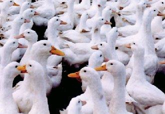 """肉脂型北京鸭新品种,终结""""填鸭""""式饲养方式"""
