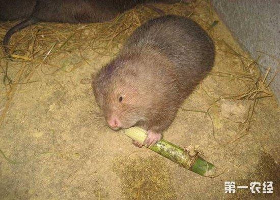 竹鼠吃什么食物?竹鼠的饲料介绍