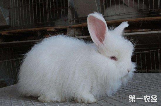 养殖长毛兔要做好哪些事项?长毛兔的养殖管理