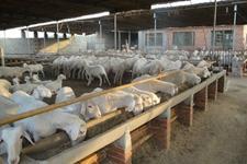 饲养牛羊等畜牧,要注意防止人畜共患病哦