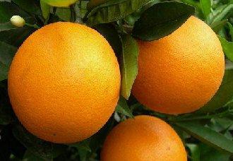 夏橙要怎么种?夏橙的种植技术