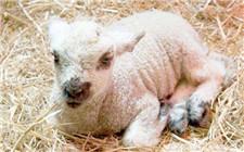 冬季羔羊常见疾病及防治方法介绍