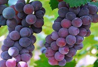 <b>广西梧州富万村葡萄产业带动贫困户增收 让群众鼓起腰包</b>