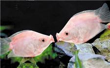 适合家庭养殖的观赏鱼种类推荐