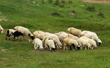 西北畜牧业:铜川市成立肉牛产业联盟 甘肃绵羊肉首次实现供港