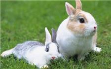 如何训练兔子定点排便?兔子的训练方法