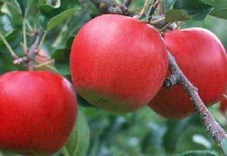 引起苹果烂根的原因以及防治措施