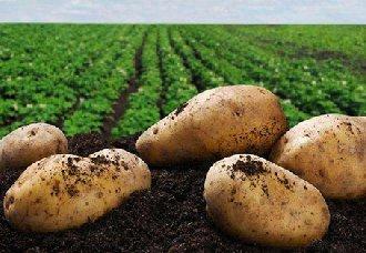 <b>马铃薯主食产业化已经没有了任何技术障碍</b>