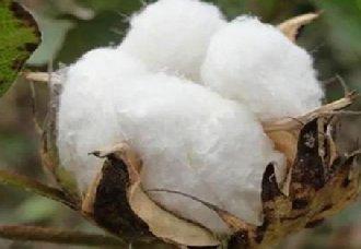 我国棉花产业将持续往高质量发展