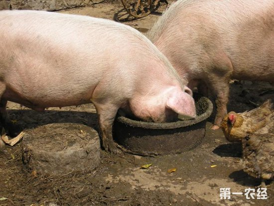 猪的动物名片