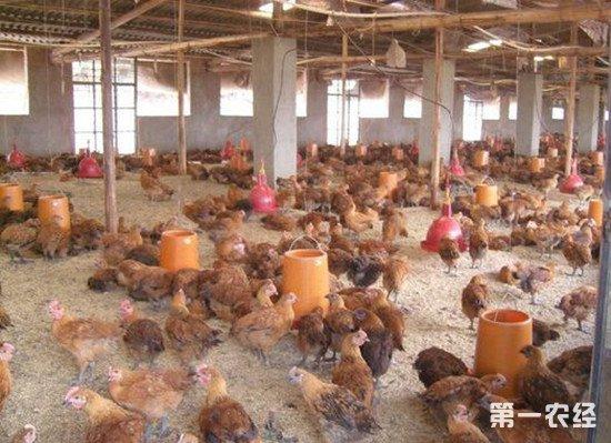 养鸡时要减少热应激 常用的饲料添加剂有哪些?