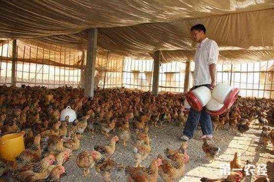 养鸡时为什么要保持食槽中没有饲料残留?