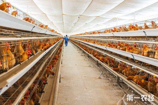 养鸡场湿度过高有哪些影响?如何降低养鸡场湿度