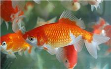如何挑选高品质的金鱼?挑选金鱼从这些方面入手