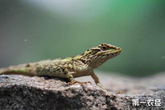 饲养蜥蜴时要注意防范哪些疾病?