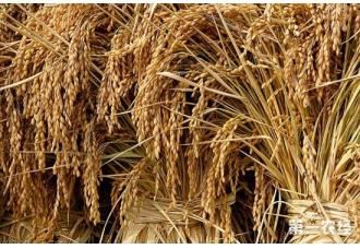 脆杆水稻选育成功,适合还田兼具丰产
