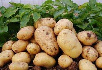 山东肥城2019年全市马铃薯种植面积将会减少万亩以上