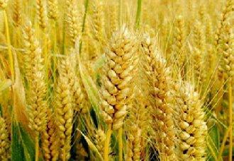 我国各小麦产区已进入收割期 须做好安全生产工作