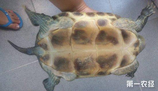 宠物龟四肢无力无法爬行的原因和解决方法