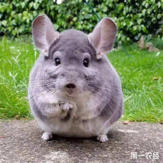 龙猫是不是老鼠的一种?龙猫与老鼠的区别有多大