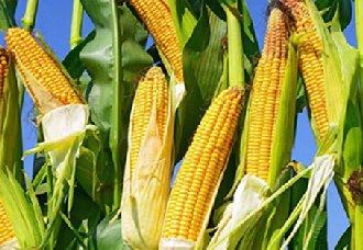玉米小麦绿色品种指标体系已发布 可实现绿色兴农