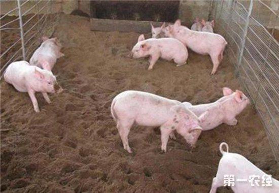发酵床养猪