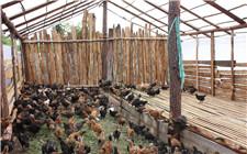 <b>农村散养鸡鸡舍怎么建?鸡舍要满足这些条件</b>