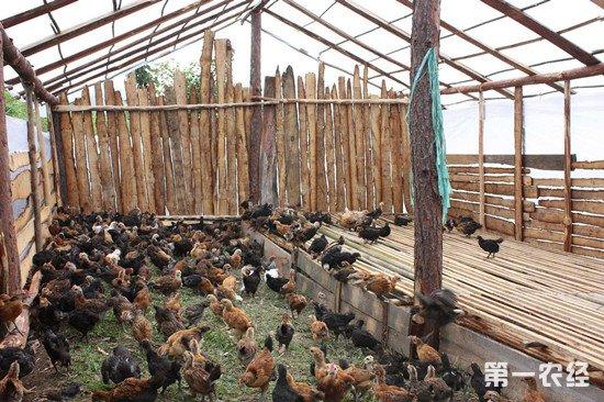 农村散养鸡鸡舍怎么建?鸡舍要满足这些条件