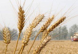 我国各省小麦跨区机收有序推进 目前已收获小麦将近1.2亿亩
