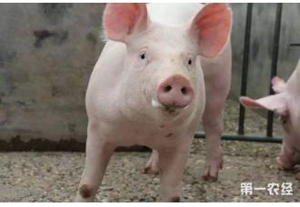 猪血液原虫病的症状以及治疗措施