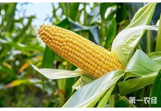 科学家找到影响热带玉米产量关键基因
