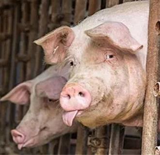 夏季猪掉膘怎么办?夏季不掉膘的养猪技术