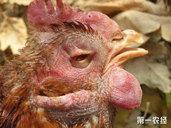 鸡的头部肿胀怎么办?鸡肿头综合症的治疗方法
