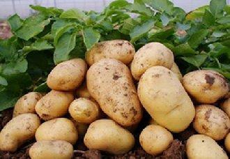 我国农业技术推广中心提出2019年全国马铃薯生产技术指导意见