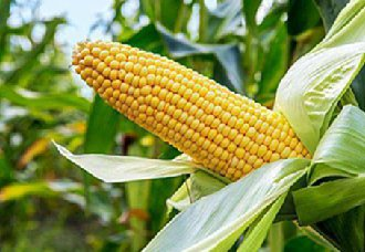 我国玉米市场价格整体呈稳定趋势 小部分地区有回调现象