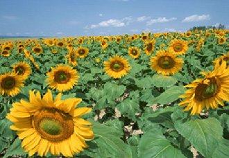 向日葵的不同生长阶段要怎么进行管理?向日葵的种植管理技术