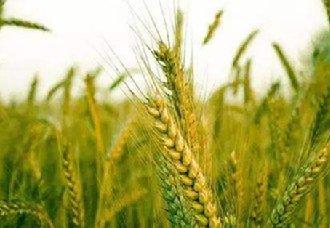 小麦出现白粉病有哪些症状?小麦白粉病的症状与防治方法