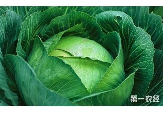 卷心菜要怎么种?卷心菜的家庭种植技术