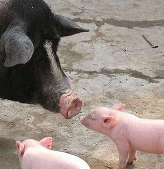 仔猪断奶要注意什么?仔猪断奶的注意事项
