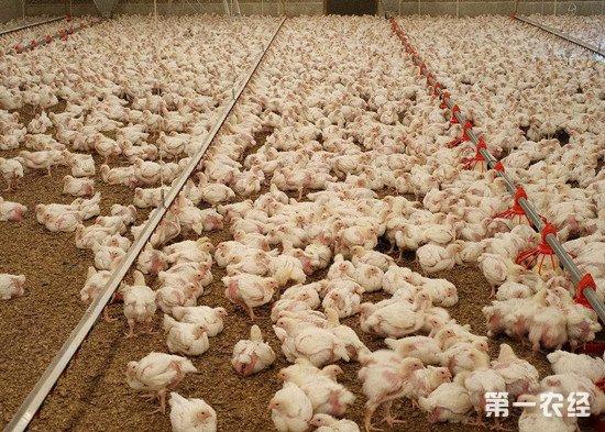 肉鸡养殖:从雏鸡到出栏的阶段管理要点
