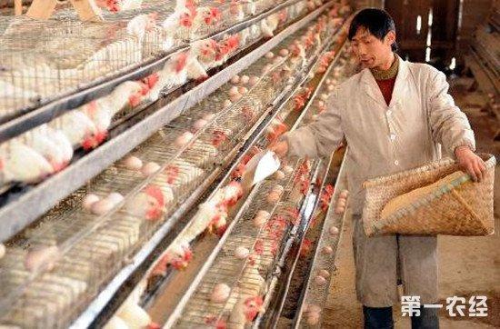 蛋鸡上笼的时间和上笼注意事项