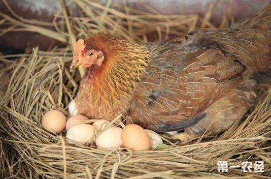 蛋鸡的产蛋周期一般是多长?对产蛋量影响较大的两个因素